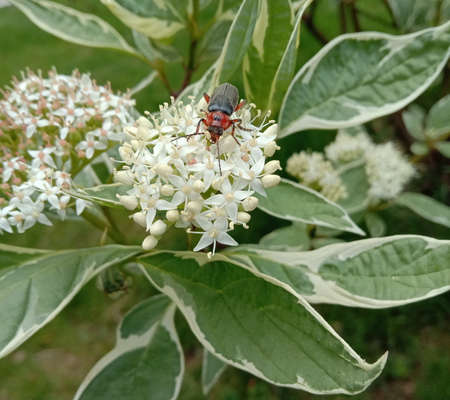 Beatle on the blossoming flower