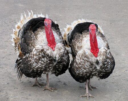 turkey hen: Turqu�a Turqu�a gallina y gallo