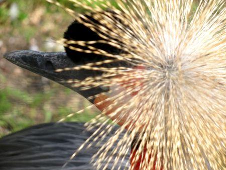 floccus:  crowned crane head (top)