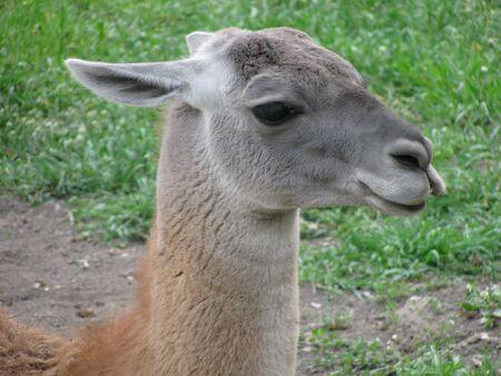 guanaco: guanaco   (head)