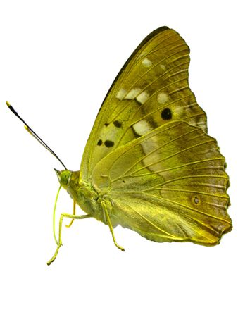 mariposa dorada  Foto de archivo - 5806251