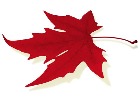 red maple leaf                                photo