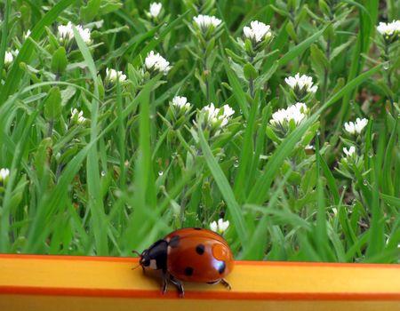 dewdrop: ladybird with dew-drop