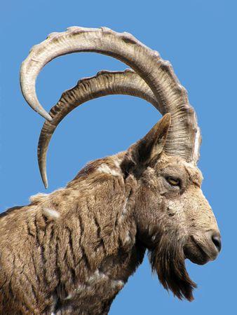 wild goat                              photo