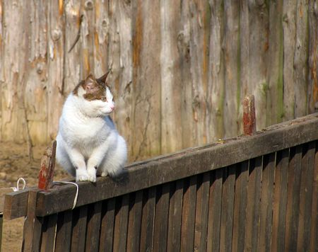cat on a wooden fence                               photo