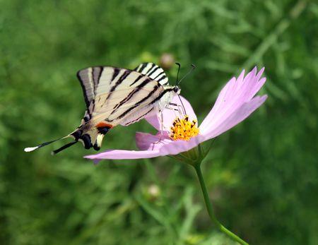 machaon on flower (cosmos) photo