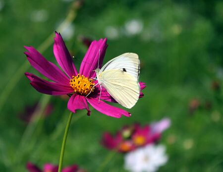 white cabbage butterfly on cosmos photo