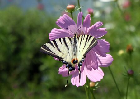 butterfly (machaon) photo