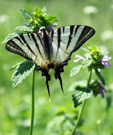 machaon: butterfly (machaon) Stock Photo