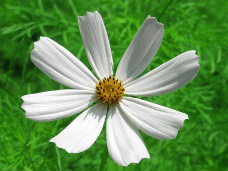 white flower (cosmos)                              photo