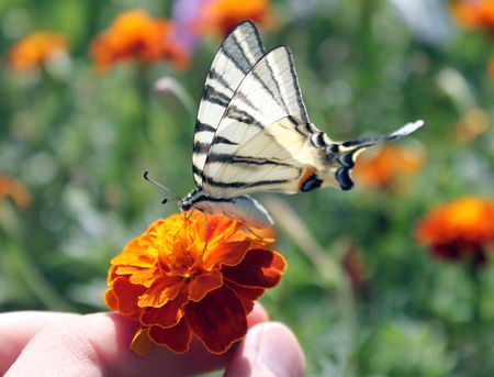 scarce: hand holding  flower (marigold) with butterfly (Scarce Swallowtail) Stock Photo