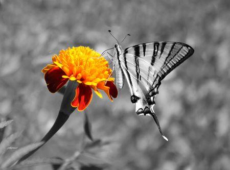 scarce: butterfly (Scarce Swallowtail) sitting on flower (marigold)  Stock Photo