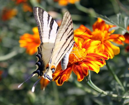 scarce: butterfly (Scarce Swallowtail) sitting on flower (marigold)
