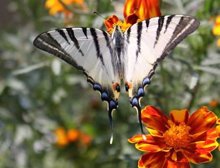scarce: butterfly (Scarce Swallowtail) with opened wings on a flower
