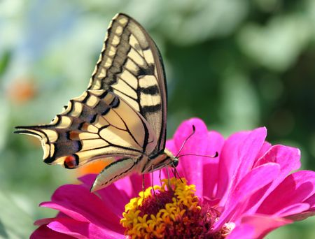 butterfly flower: butterfly (Papilio Machaon) sitting on flower (zinnia) Stock Photo