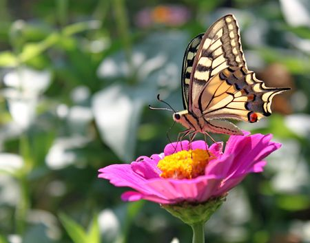 butterfly (Papilio Machaon) sitting on flower (zinnia) photo