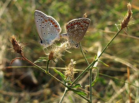 lycaenidae: two butterflies (lycaenidae)