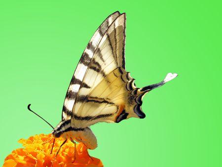 scarce: butterfly (Scarce Swallowtail) on flower (marigold)                             Stock Photo