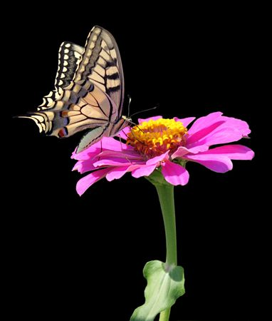 pink butterfly: butterfly (Papilio Machaon) on flower (zinnia) Stock Photo