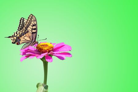 butterfly (Papilio Machaon) on flower (zinnia) over green