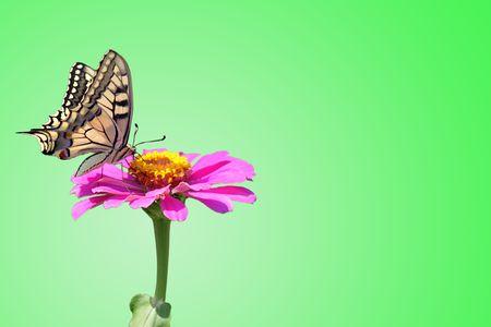 zinnia: butterfly (Papilio Machaon) on flower (zinnia) over green