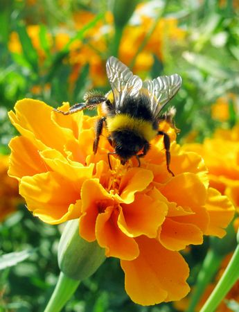 bumblebee  on marigold                             photo