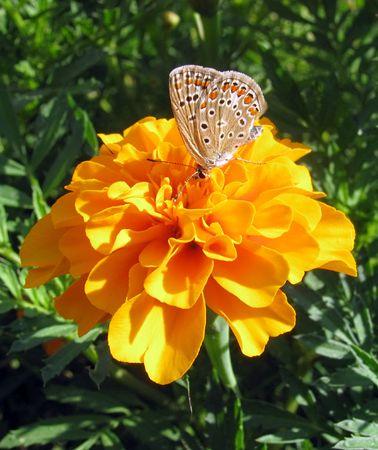 lycaenidae: butterfly (lycaenidae) sitting on flower (marigold)