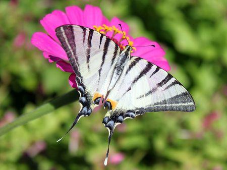 scarce: butterfly (Scarce Swallowtail) sitting on flower (zinnia)