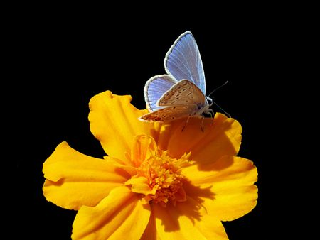 lycaenidae:   butterfly (lycaenidae) on marigold over black