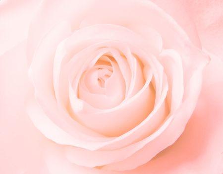 pink rose: light pink rose bud