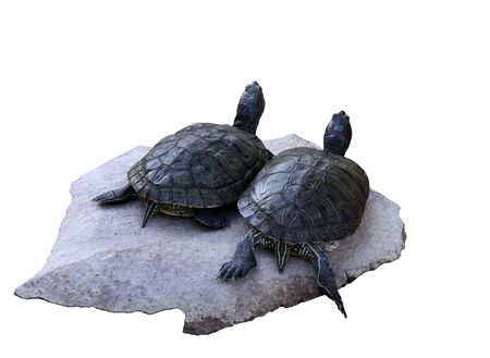 two turtles on a stone isolated on white photo