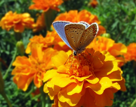 lycaenidae: butterfy (lycaenidae) sitting on flower (marigold)                               Stock Photo
