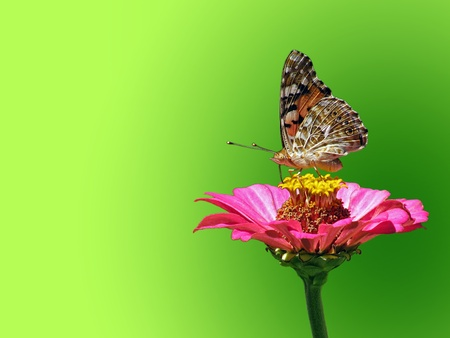 zinnia:  butterfly (Painted Lady) on flower (zinnia)  over green background