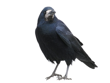 black raven Stock Photo - 8625707