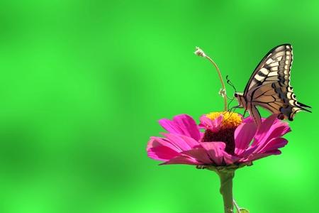 butterfly (Papilio Machaon) on flower (zinnia) Stock Photo