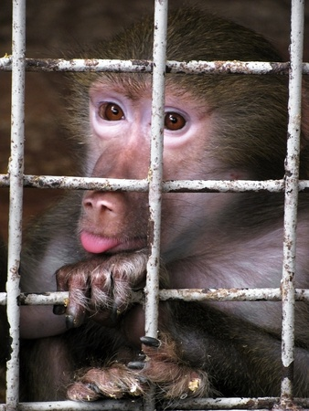 small monkey behind grating in zoo                                photo