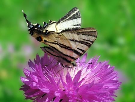 scarce: butterfly (Scarce Swallowtail) sitting on cornflower