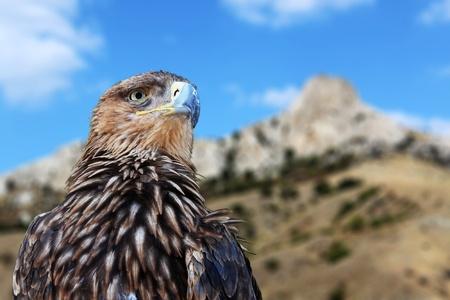 aigle royal: l'aigle royal sur les montagnes