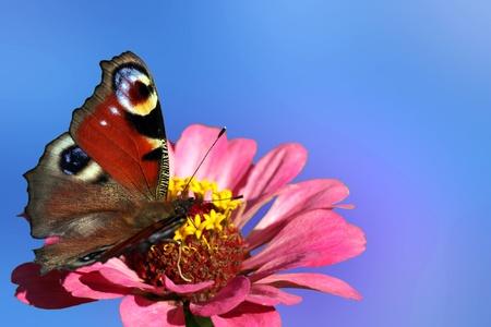 butterfly (european peacock) sitting on flower (zinnia) photo