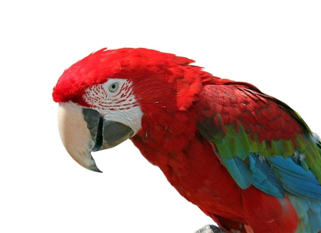 head of macaw isolated on white Stock Photo