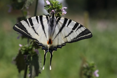 scarce: butterfly (Scarce Swallowtail) in a grass