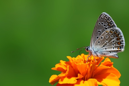 common blue butterfly sitting on marigold photo