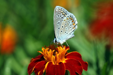 butterfly (lycaenidae) sitting on flower (marigold) Stock Photo - 10092975