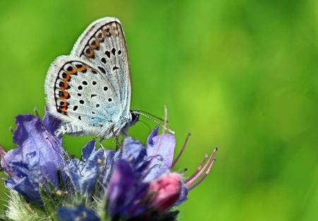 lycaenidae: butterfly (lycaenidae) on wild flower