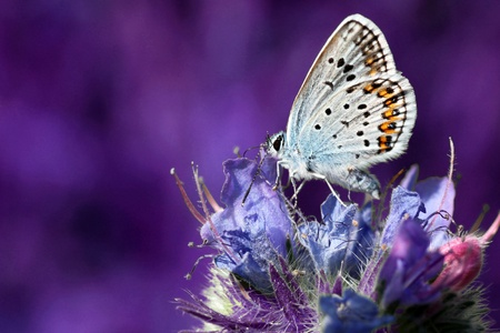 common blue: butterfly (lycaenidae) on wild flower
