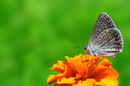 butterfly (lycaenidae) sitting on flower (marigold) Stock Photo - 10092955