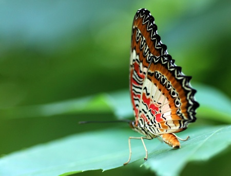lacewing: butterfly (Red Lacewing) sitting on a green leaf Stock Photo