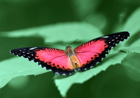 lacewing: butterfly (Red Lacewing) with opened wings on a green leaf Stock Photo