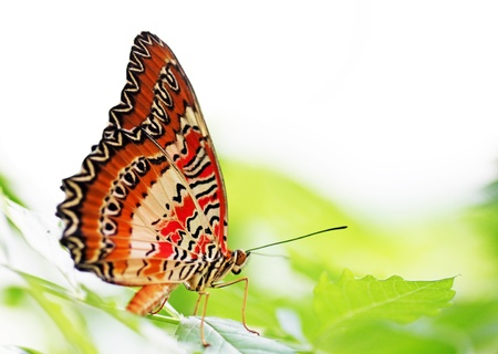 butterfly (Red Lacewing) sitting on a green leaf Stock Photo