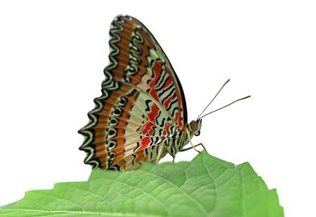 chrysope: papillon (Red chrysopes) avec des ailes ouvertes sur une feuille verte